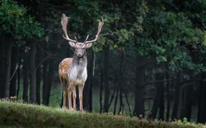 fallow-deer-984573_1280