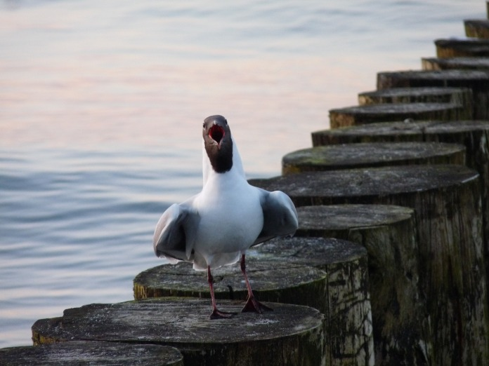 seagull-2009845_1920